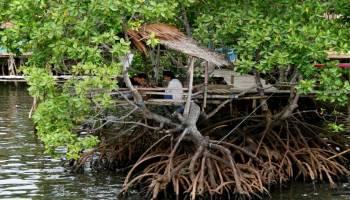 Warga Bangka Belitung Jadikan Dodol Dari Tanaman Mangrove
