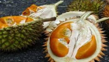 Musim Durian Di Bangka Hampir Tiba